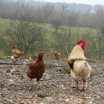 kippenren maken